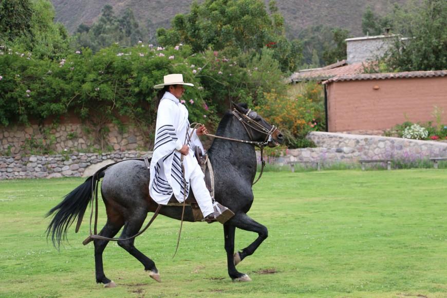Peruvian Trotting horse