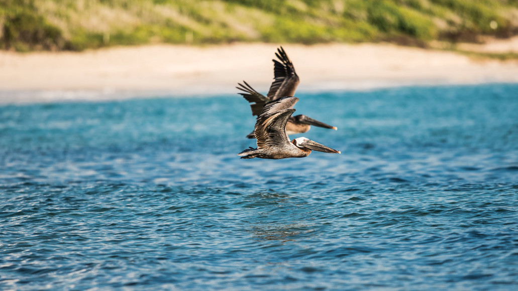 gallery-08-pelicans